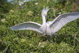 USA  Florida  Orlando Snowy Egret at Gatorland