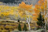Aspens and willow thickets along U M Creek Fishlake  Utah  USA