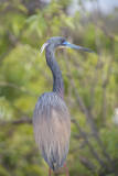 USA  Florida  Orlando tricolored heron at Gatorland