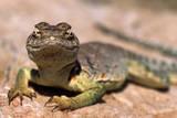 Collared lizard Mark Twain National Forest  Missouri  USA