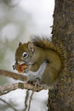 Red squirrel eating pine cones  Harriman SP  Idaho  USA