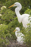 USA  Florida  Orlando Great Egret and baby egret at Gatorland