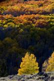 Aspen trees in autumn Fishlake National Forest  Utah  USA