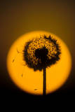 Utah  USA Seed head of dandelion silhouetted at sunset