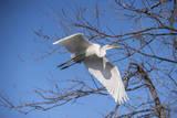 USA  Florida  Orlando Great Egret at Gatorland