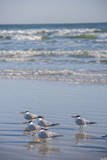 USA  Florida  New Smyrna Beach  Royal Terns on beach
