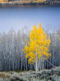 Aspen trees in above Fish Lake Fishlake National Forest  Utah  USA
