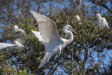 USA  Florida  St Augustine  Great Egret at Alligator Farm rookery