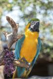 USA  Florida  Orlando Blue-and-Yellow Macaw at Gatorland
