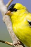 Utah Male American goldfinch in spring