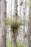 USA  Florida  Orlando Epidendrum on Cypress tree at Gatorland