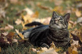 Gray tabby cat and autumn leaves