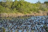 USA  Florida  Merritt Island  National Wildlife Refuge  American Coot