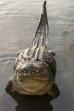 USA  Florida  Orlando alligator doing water dance at Gatorland