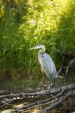 USA  Washington State  Ridgefield NWR  Great Blue Heron