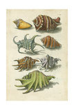 Conch Shell Illustre