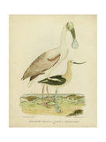 Antique Spoonbill and Sandpipers