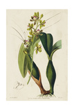 Spring Orchid III