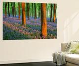 Carpet of Bluebells (Endymion Nonscriptus) in Beech (Fagus Sylvatica) Woodland at Dawn  UK