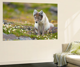 Arctic Fox Forages on the Tundra  Spitsbergen  Svalbard  Norway