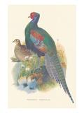 Pheasant Versicolor