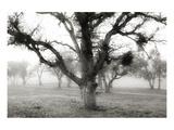 Oak Tree in the Fog