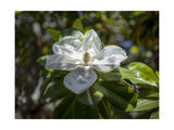 White Magnolia Blossom Close-Up 4
