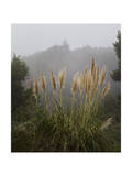 Pampas Grass in Fog
