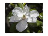 White Magnolia Blosson Close-Up 2
