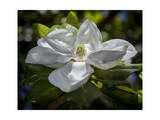 White Magnolia Blossom Close-Up
