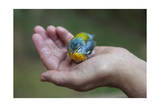 Northern Parula Warbler in Hand