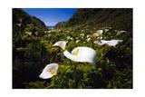 Calla Lilies in Garrapata Creek