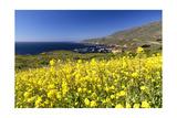 Yellow Mustard Bloom  Big Sur  California