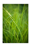 Green Prairie Grass
