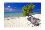 Lone Divi Tree on a Beach  Aruba