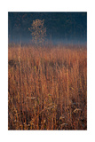Little Bluestem Prairie Grass
