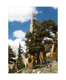 Foxtail Pine In Nine Lakes Basin