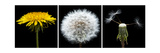 Dandelion Life Cycle