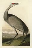 Hooping Crane