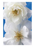 A Pair of White Roses