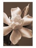 Magnolia in Sepia