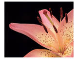 Lily Pink 2