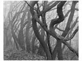 Potato Creek Gnarled Trees Black and White