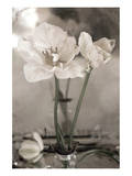 White Tulip Celebration II