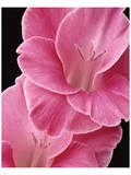 Gladiolus V