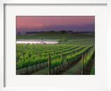 Sunrise in Distant Fog  Carnaros  Napa Valley  California  USA