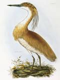 Squated Heron