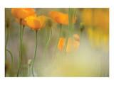 Orange Tulip Mist