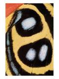 Callicore Sorana