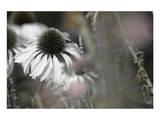 Echinacea Cone Flower